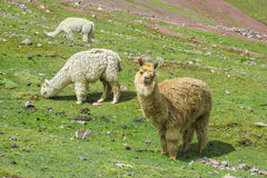 lamas stock fotografie