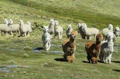 lamas royalty-vrije stock afbeeldingen
