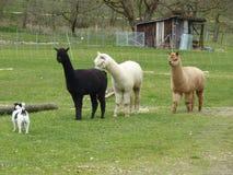 Lamas - alpaga Photo libre de droits