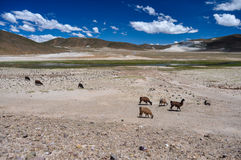 Lamas and Alpagas in Bolivia's Landscape Stock Photos