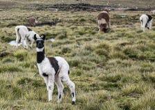 Lama, in Bolivia royalty free stock image