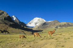 Lamas in the Andes. The llama, Lama glama domesticated South American camelid animals on the green meadow in the Andes mountain royalty free stock photography