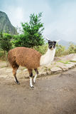 Lamas in Andes,Mountains, Royalty Free Stock Photo