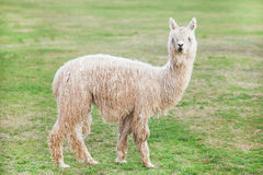 Lamas Stock Photo