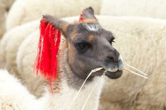 Lamas in Andes,Mountains Royalty Free Stock Photo