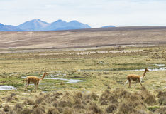 Lamas in Andes,Mountains Stock Images