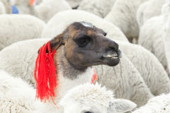 Lamas in Andes,Mountains Stock Photo