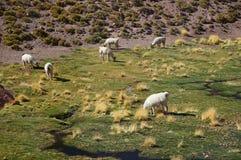 Lamas, Atacama, Chile Stockbild