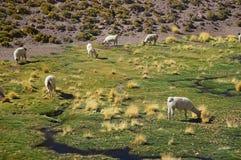 Lamas, Atacama, Chile Royalty Free Stock Photography