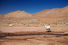 Lamas in Atacama desert Stock Photo