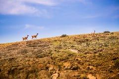 Lamas auf Bergen Lizenzfreie Stockbilder