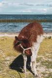 Lamas auf einem Gebiet von Salar de Uyuni in Bolivien stockbilder