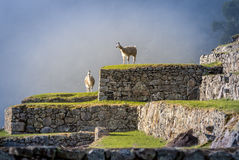 Lamas auf Terrassen Machu Picchu Stockfotografie