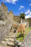 Lamas bei Machu Picchu Stockfoto