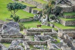Lamas bei Machu Picchu, die heilige Stadt von Inkas, Peru Lizenzfreie Stockbilder