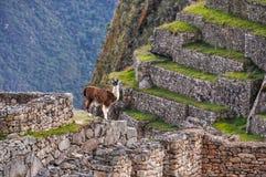 Lamas bei Machu Picchu, die heilige Stadt von Inkas, Peru Stockbilder