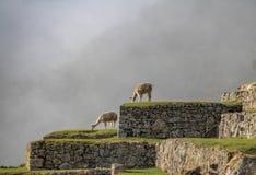 Lamas bei Machu Picchu Inca Ruins - heiliges Tal, Peru Stockbild