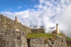 Lamas bei Machu Picchu Inca Ruins - heiliges Tal, Peru Lizenzfreie Stockbilder