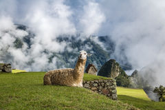 Lamas bei Machu Picchu Inca Ruins - heiliges Tal, Peru Lizenzfreie Stockfotografie