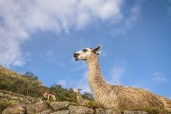 Lamas bei Machu Picchu Inca Ruins - heiliges Tal, Peru Lizenzfreies Stockbild