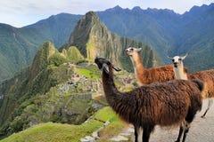 Lamas bei Machu Picchu, verlorene Inkastadt in Stockfotos
