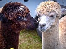 Lamas blancs et bruns de bébé Image libre de droits