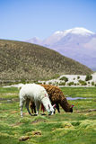 Lamas, Bolivie Image stock