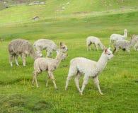 Lamas brancos pequenos no prado verde Fotos de Stock Royalty Free