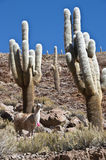 Lamas and Cacti. Paso de Jama, Andes Stock Photo