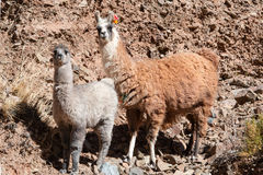 Lamas and Cacti. Paso de Jama, Andes Stock Images