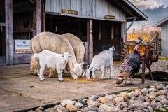 Lamas, chèvres, et une dinde se tenant ensemble en dehors d'une grange image stock