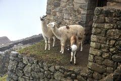 Lamas chez Machu Picchu Image libre de droits