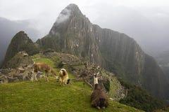 Lamas chez Machu Picchu au Pérou Photo stock