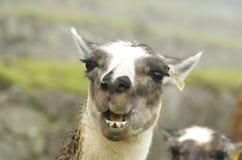 Lamas chez Machu Picchu - Cuzco, Pérou Photographie stock libre de droits