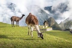 Lamas chez Machu Picchu Inca Ruins - vallée sacrée, Pérou Image stock