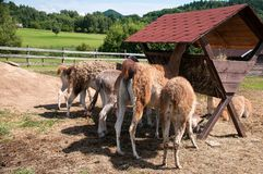 Lamas Stock Photography