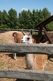 Lamas Royalty Free Stock Photo