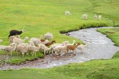Lamas crossing river Stock Image