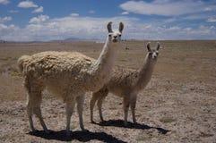 Lamas da mãe e do bebê no altiplano boliviano Fotografia de Stock