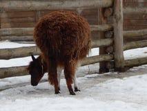 Lamas dans la volière images libres de droits