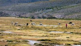 Lamas dans le Bolivien Altiplano, Amérique du Sud photos libres de droits