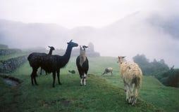 Lamas dans le brouillard Image stock
