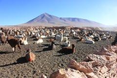 Lamas dans le désert bolivien Photographie stock