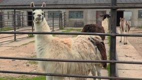 Lamas dans le pré clips vidéos