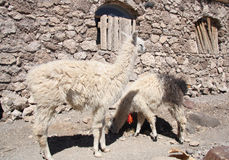 Lamas dans un désert, Salar de Uyuni, Bolivie Photographie stock libre de droits