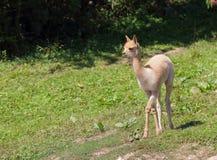 Lamas de bébé sur le pacage Image stock
