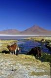 Lamas devant Laguna le Colorado Images stock