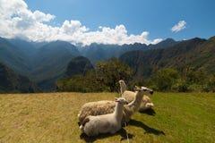 Lamas, die auf dem heiligen Gras von Machu Picchu weiden lassen und sich hinlegen Weitwinkelansicht mit szenischem Himmel Stockfoto