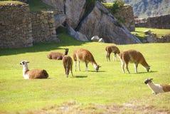 Lamas, die auf terassenförmig angelegter Piazza weiden lassen Lizenzfreies Stockfoto