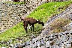 Lamas, die Gras Machu Picchu Peru South Amerika essen Lizenzfreies Stockfoto